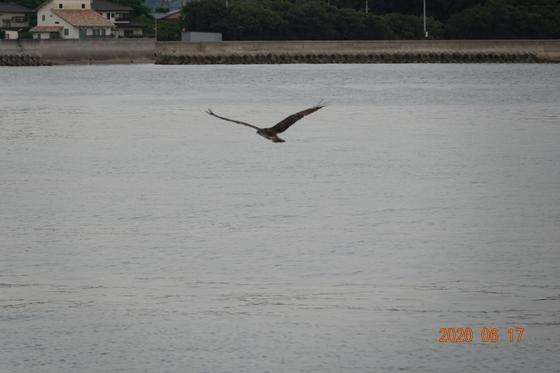 宮波止白灯台から飛び立つミサゴ