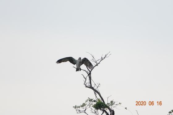 大田林枯れ木より飛び立つミサゴ